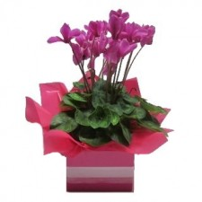 Gift Delivery - Send a Basket - p-980-Cyclamen-Plant