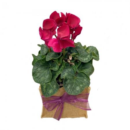 plant-send-a-basket-cyclamen