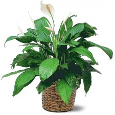 Gift Hamper - Send a Basket - peace-lily-plant